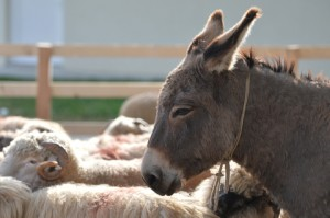 http://www.dreamstime.com/royalty-free-stock-photography-donkey-profile-farmland-some-sheep-around-him-image35076227